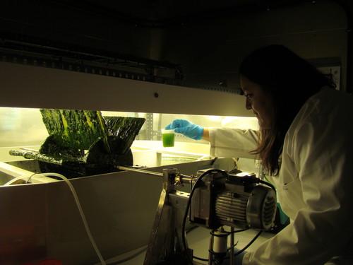 Una investigadora trabaja con microalgas en el laboratorio. Foto: Raúl Muñoz.