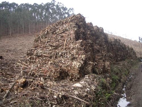 Biomasa de eucalipto. FOTO: ASMADERA.