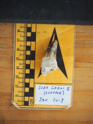 Crocodile fossil tooth / Engel Project Ela