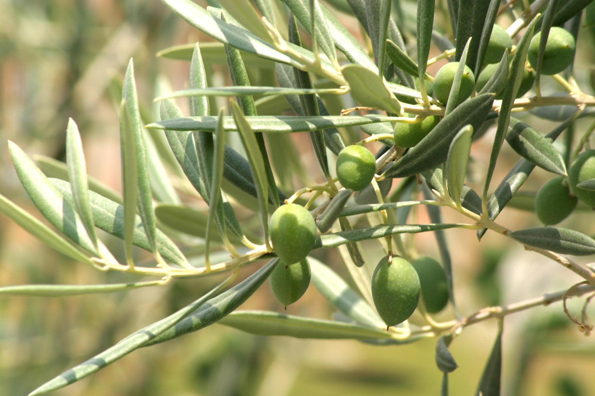 El ácido oleanólico se extrae de plantas como el olivo (FOTO: ITE).