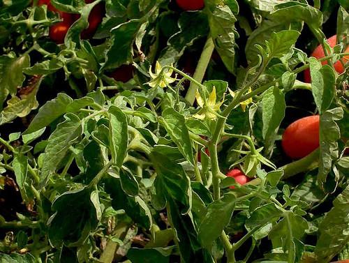 Cultivo de tomate/UN