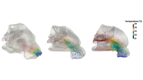 Reconstructed internal nasal anatomy of NEA 2116236 (left), SWE-93776 (center) and Neanderthal (right). Illustration: Pablo Navarro