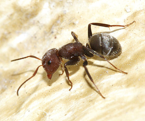 Camponotus planatus/© Tom Murray