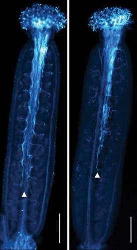 At left, normal Arabidopsis thaliana plants reproduce when pollen tubes (thin blue filaments) grow downward toward the ovules to produce seeds. At right, in a plant with a mutated glutamate receptor-like protein gene/José Feijó/University of Maryland