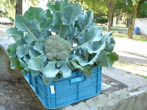 Producción de brócolis fortificados. FOTO: UNL
