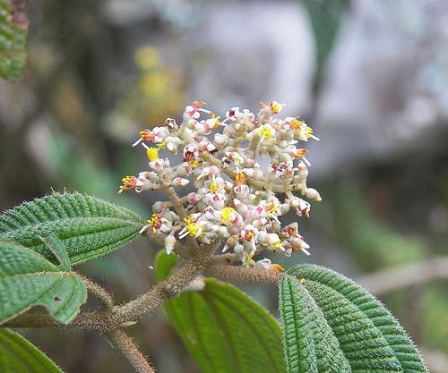 Flores de 'Leandra subseriata'.