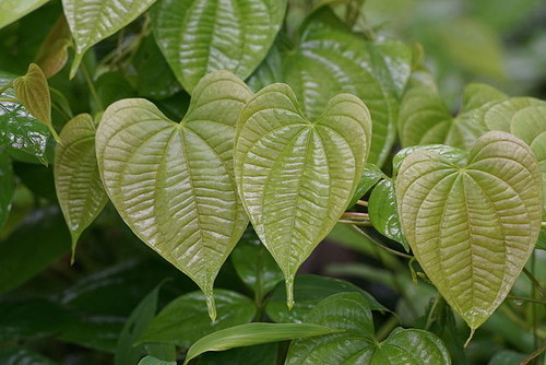 Dioscorea bulbifera o batata/Vengolis