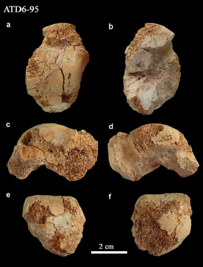 Fósiles de huesos del pie de \'Homo antecessor\' hallados en Atapuerca ...