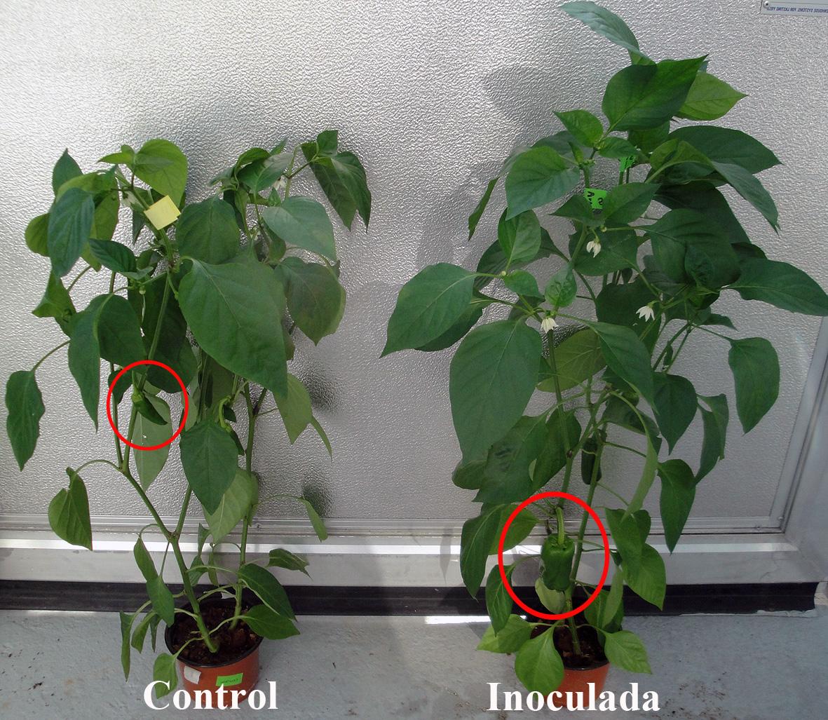 La planta inoculada con 39 rhizobium 39 crece m s y produce for Plantar pimientos y tomates