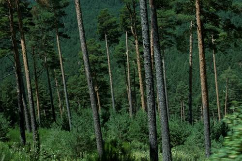 Pinar en la Sierra de Guadarrama/Amber Doerr