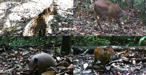 Clockwise: Southern tiger cat [Leopardus guttulus]; Brocket deer [Mazama spp.]; Greater naked-tailed armadillo [Cabassous tatouay]; Red-rumped agouti [Dasyprocta leporina]/ICMBio/CENAP