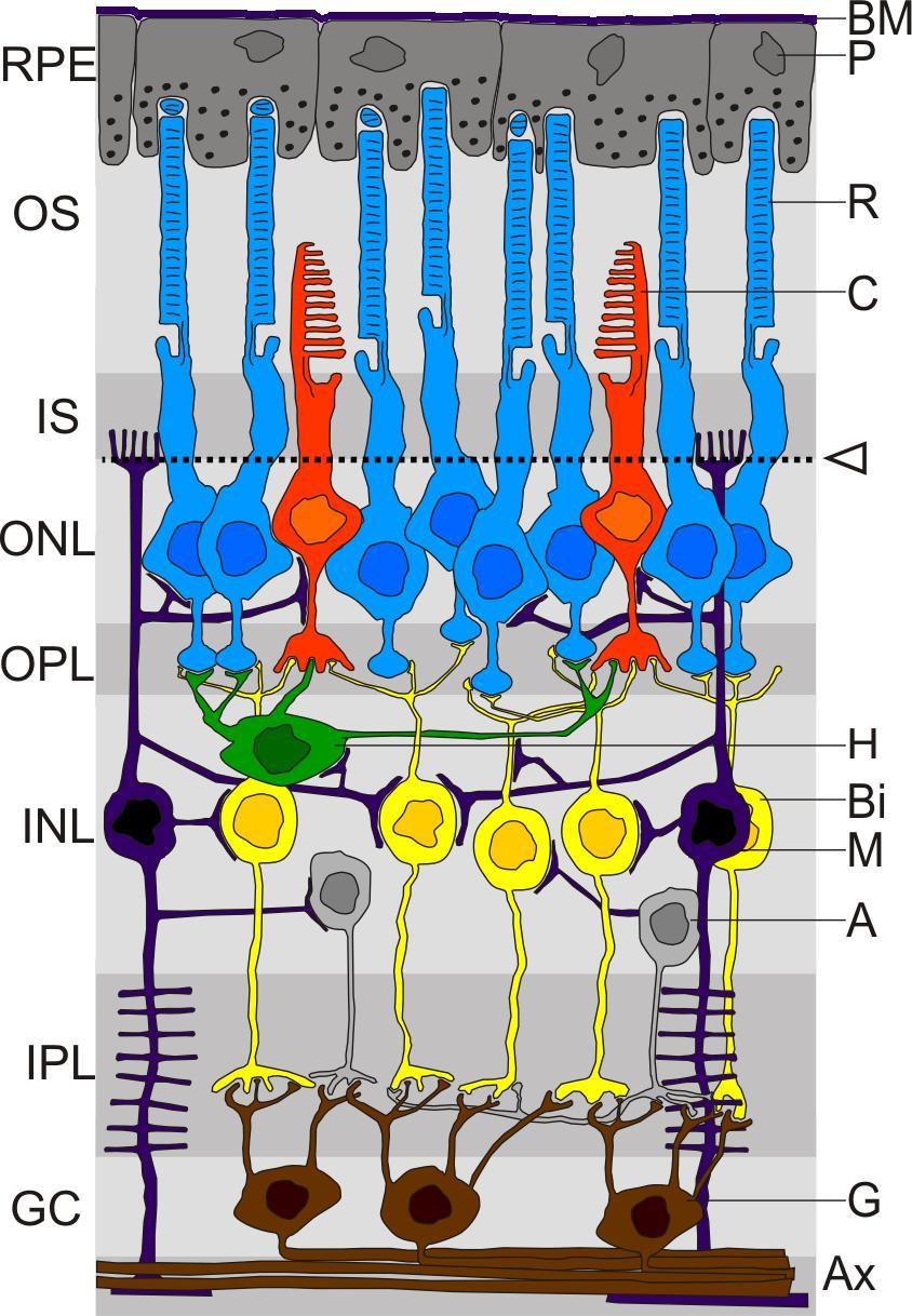 Capas y tipos de células de la retina (FOTO: Wikimedia)
