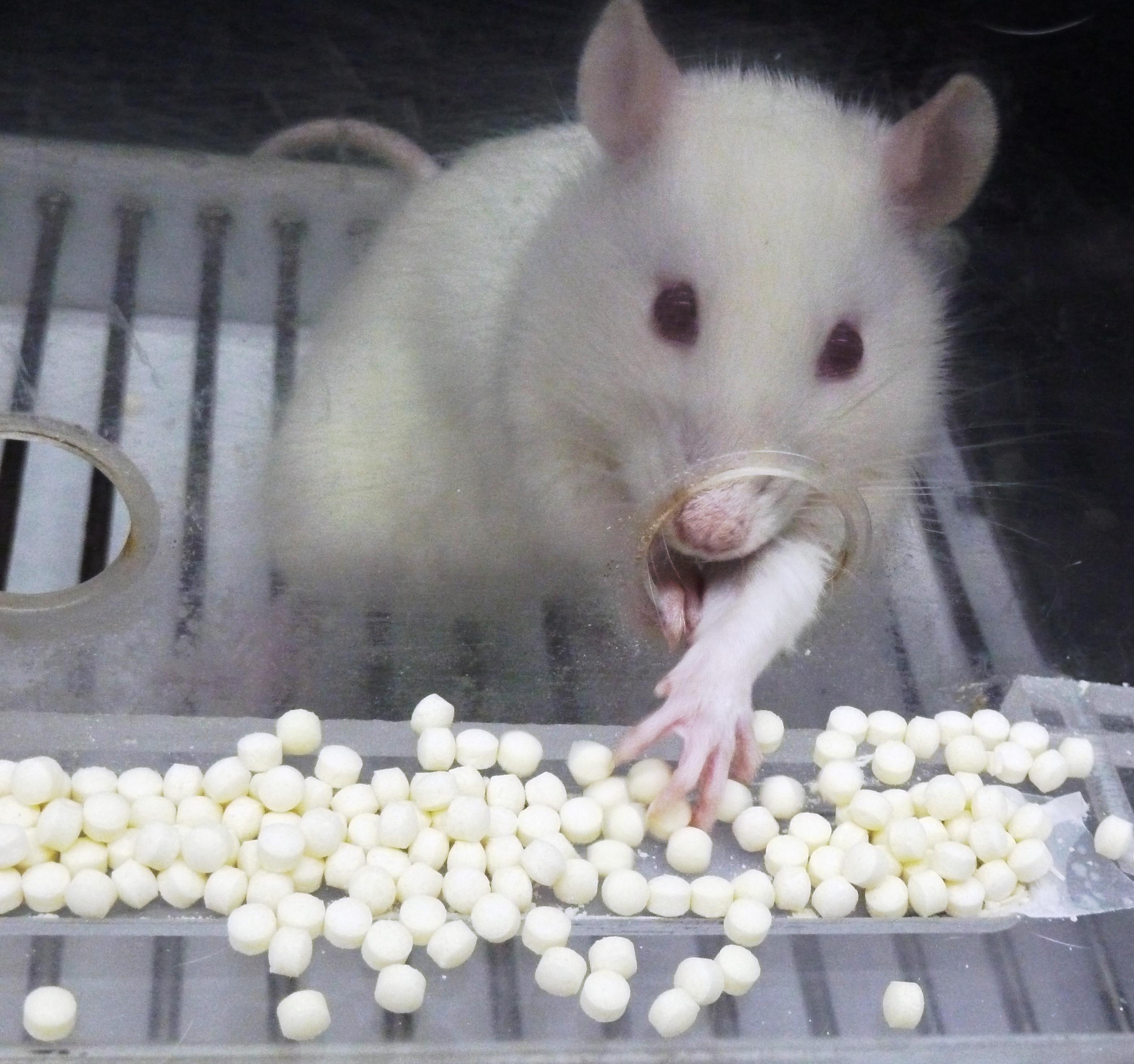 Una rata seleccionada para un experimento saca la pata - Comida para ratones ...