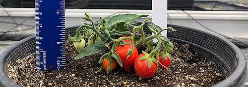 Planta de tomate/Martha Orozco y su equipo