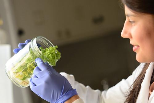 La investigación se encuentra en la fase de cultivos de tejidos in vitro sobre dos variedades de tabaco Virginia K399 y K326/UN