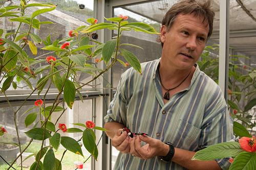 Owen McMillan, científico del Instituto Smithsonian de Investigaciones Tropicales (STRI), sostiene dos mariposas del género Heliconius en los insectarios en Gamboa, Panamá/STRI