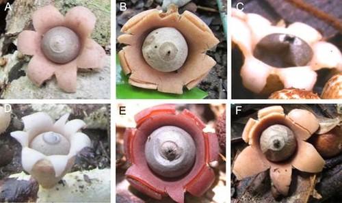 Cuerpos fructíferos de las seis especies nuevas. A) Geastrum baculycristallum, B) G. brunneocapillatum, C) G. courtecuisse, D) G. neoamericanum, E) G. rubellum, F) G. rubropusillum. / J.O. Sousa